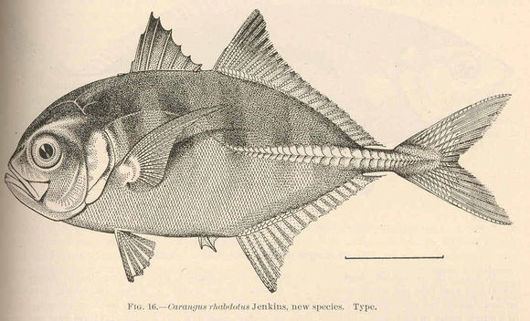 cá khế sáu sọc