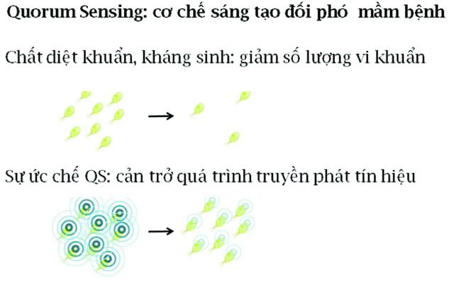 cơ chế quorum sensing