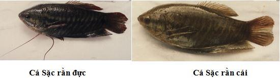 phân biệt cá sặc rằn đực cái