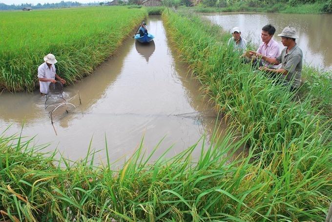 Mekong Delta promotes eco-shrimp farming