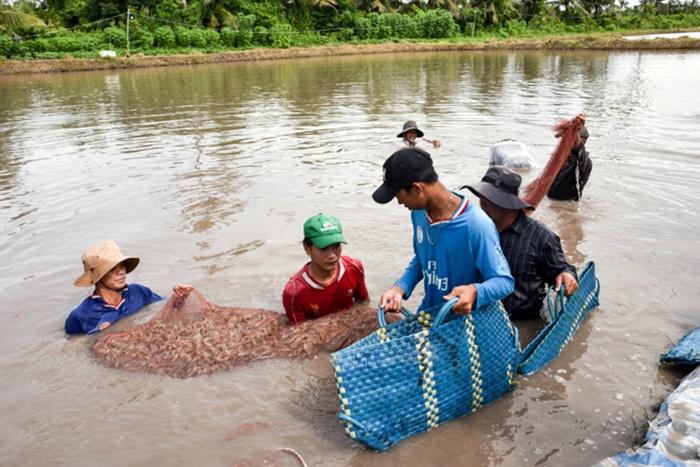 Sustainable development for Vietnamese shrimp industry