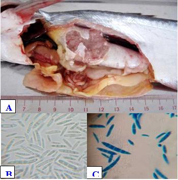 Hình 1: Mẫu cá tra bệnh: (A) Cá trương bóng hơi bên trong chứa dịch và bóng khí, (B) Bào tử nấm bên trong bóng hơi (x1000), (C) Bào tử nấm bên trong bóng hơi (cotton-blue, x1000).