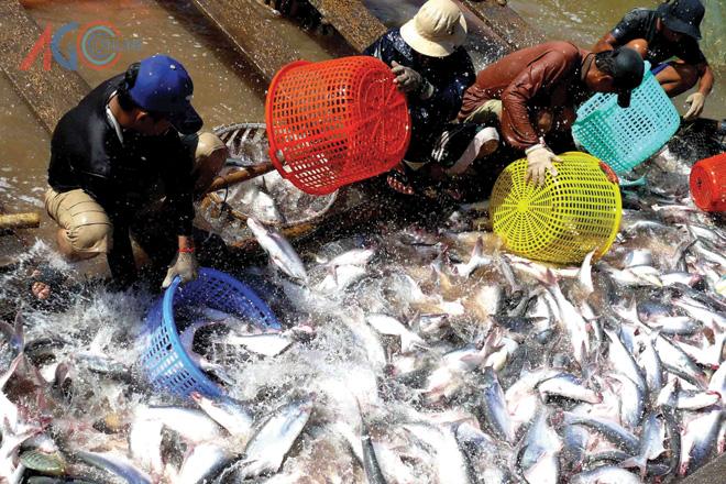 Thị trường chờ tác động từ quy định cá tra của Việt Nam
