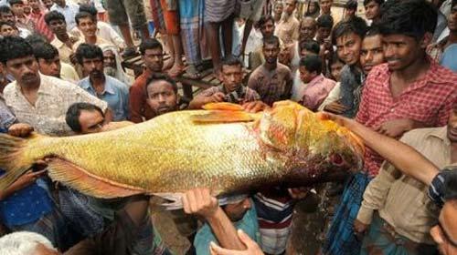 cá hanh vàng