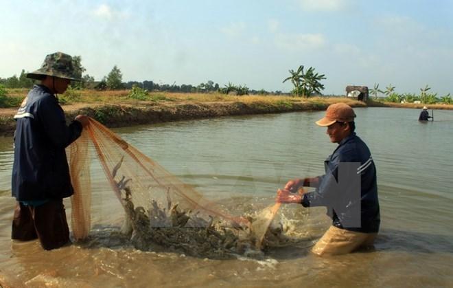 Nông dân tỉnh Cà Mau thu hoạch tôm