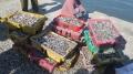Cá biển chết hàng loạt ở Khánh Hòa do tảo đỏ gây ra