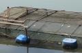 TT-Huế: Cá lồng tiếp tục chết hàng loạt, người nuôi điêu đứng
