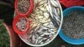 Trung Quốc lùng mua cá đồng Việt Nam