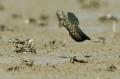 Về Cà Mau nhậu loài cá kỳ lạ nhất hành tinh