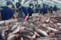 Tình hình sản xuất, tiêu thụ cá tra năm 2016