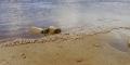 Hàng vạn con còng đá tím di cư trên bãi biển