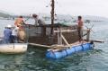 Nuôi tôm hùm nhập từ Philippines:Tiềm ẩn nhiều rủi ro