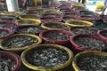 Cà Mau: Ngư dân Sông Đốc trúng mực chuyến đầu năm