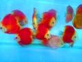 Tác dụng của Astaxanthin khi được bổ sung vào thức ăn cá Dĩa