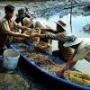 Tuy An: Ngư dân có thu nhập cao từ cua và tôm đất ở đầm Ô Loan