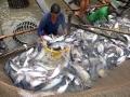Bảo vệ cá tra Việt trước thông tin có tính bôi nhọ tại EU