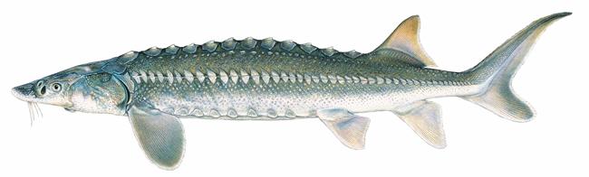 Cá tầm Acipenser spp.