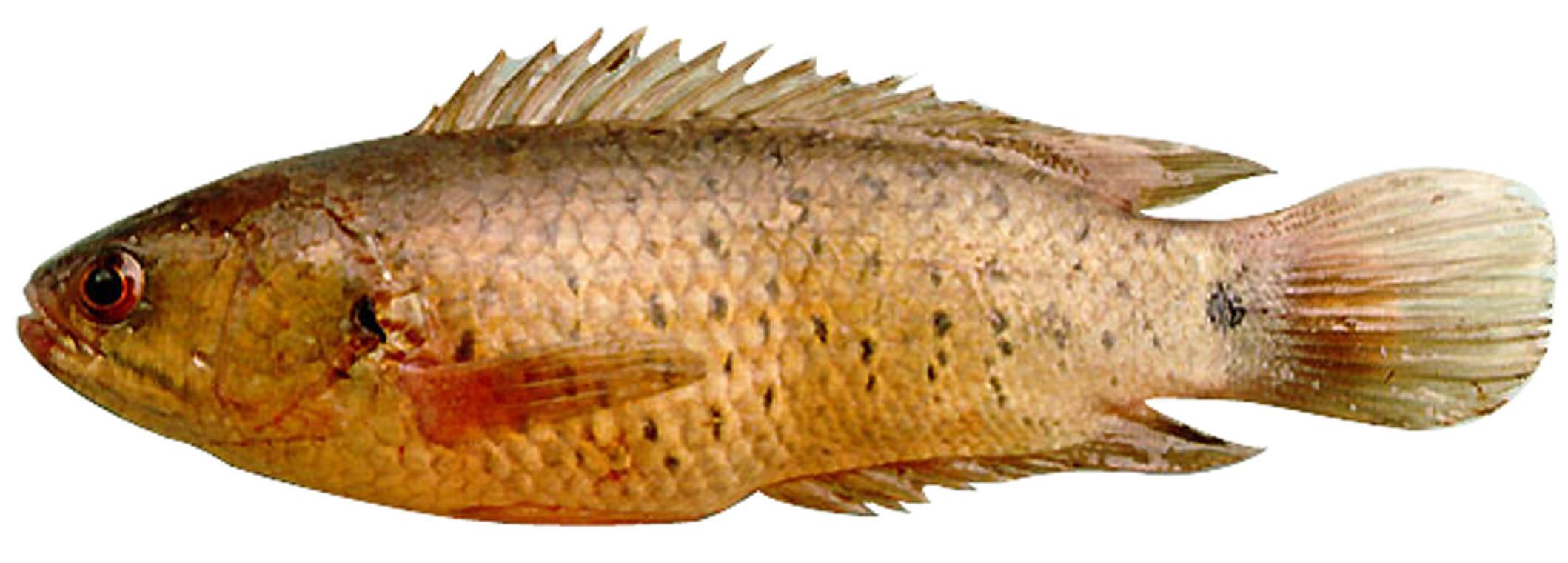 Cá rô đồng Anabas testudineus