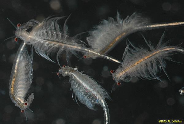 Artemia Artemia franciscana