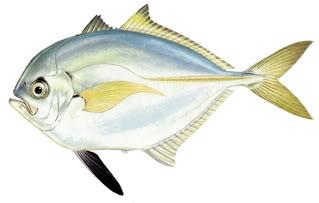 Cá Bao Áo