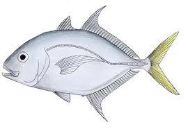 Cá Khế mõm dài