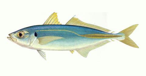 Cá Nục sò
