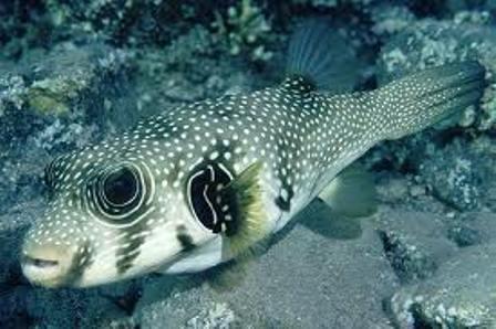 Cá nóc chuột vân bụng Arothron hispidus