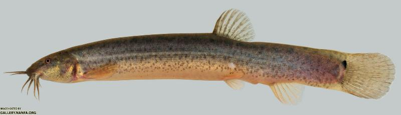 Cá chạch bùn Misgurnus anguillicaudatus