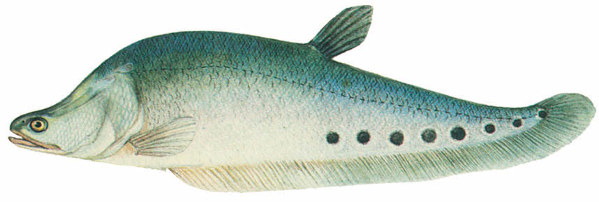 Cá còm Notopterus chitala