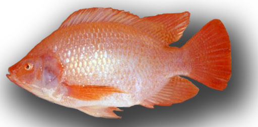 Cá điêu hồng Oreochromis sp *