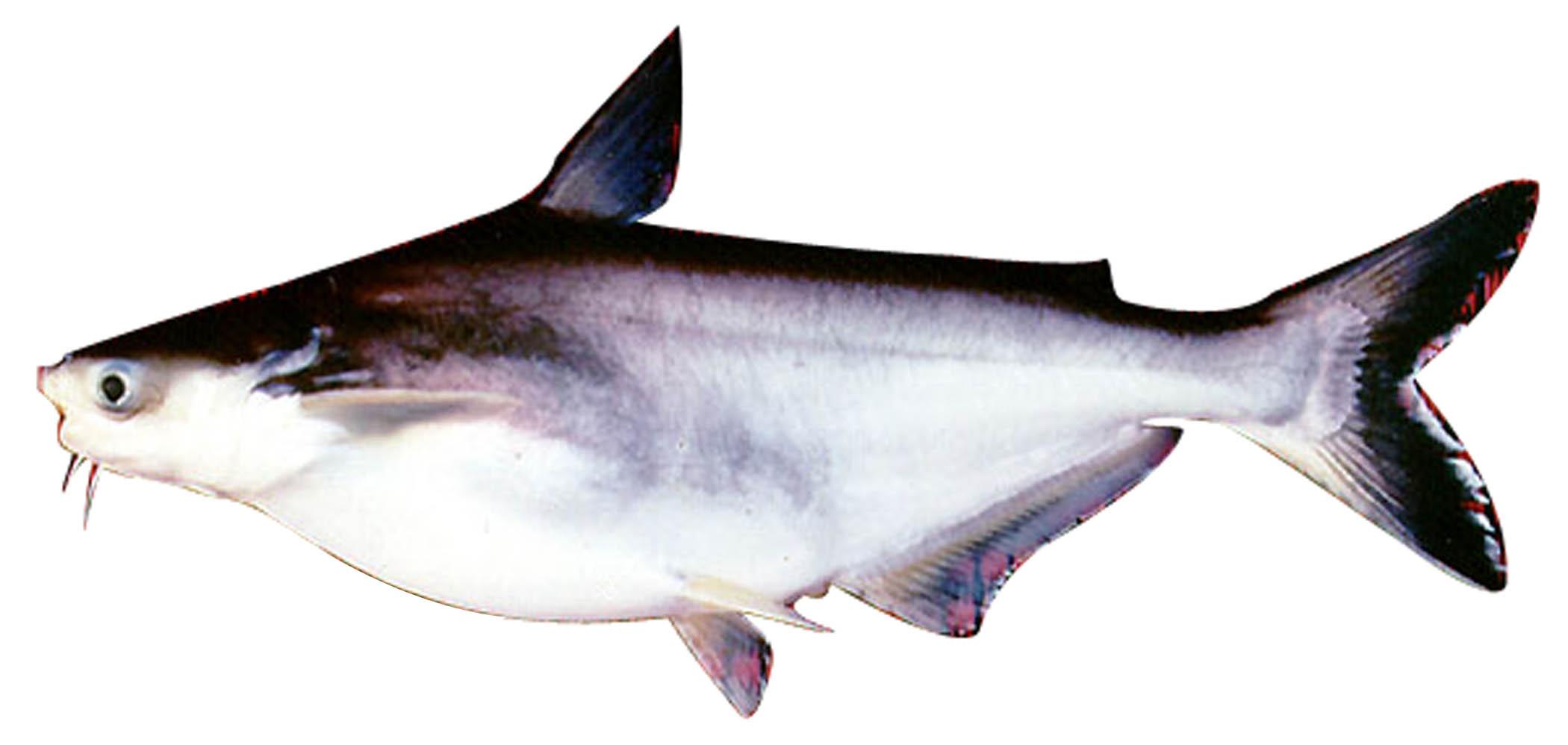 Cá ba sa