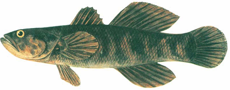 Cá bống tượng Oxyeleotris marmoratus
