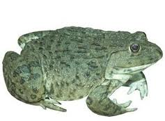 Ếch đồng Hoplobatrachus rugulosus