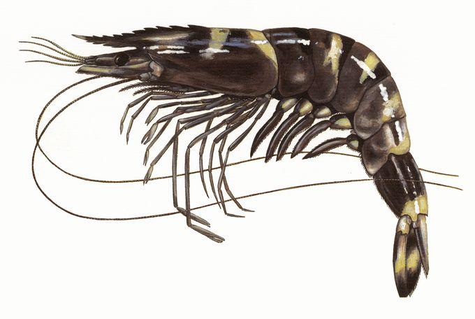 Tôm sú Penaeus monodon