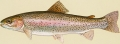 Salmon/Oncorhynchus spp.
