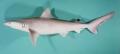 Carcharhinus dussumieri