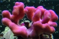 Stylophora pistillata