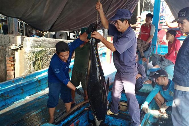 cá ngừ, đánh bắt cá ngừ thủy sản, khai thác thủy sản, đánh bắt cá
