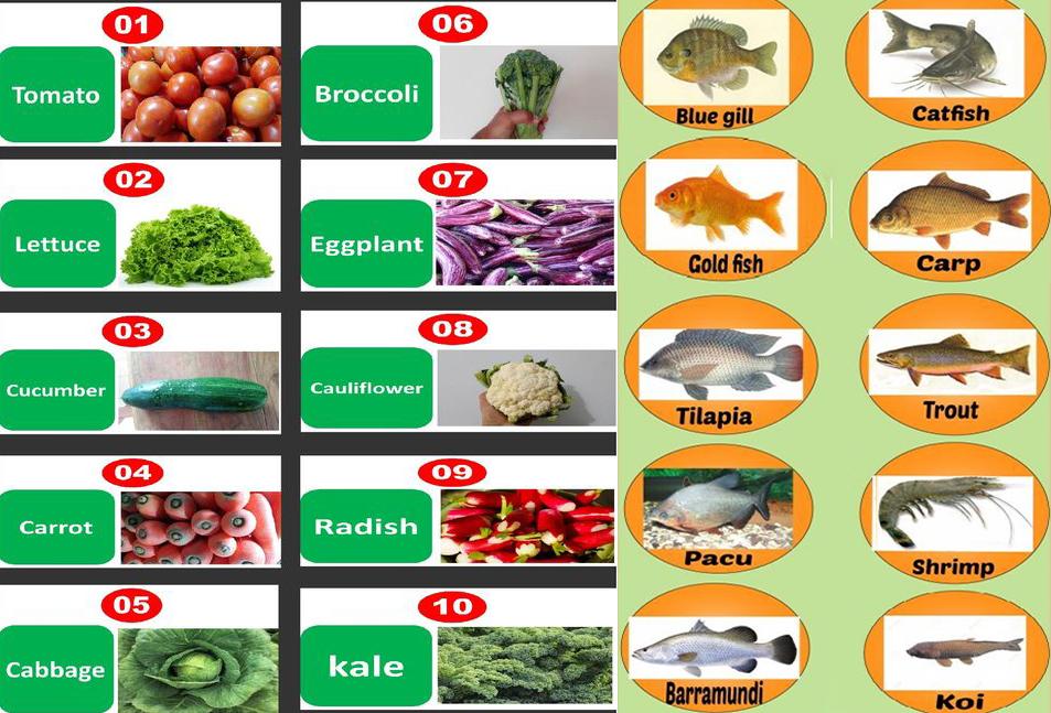 10 loài cá và 10 loại rau được sử dụng phổ biến cho hệ thống Aquaponic