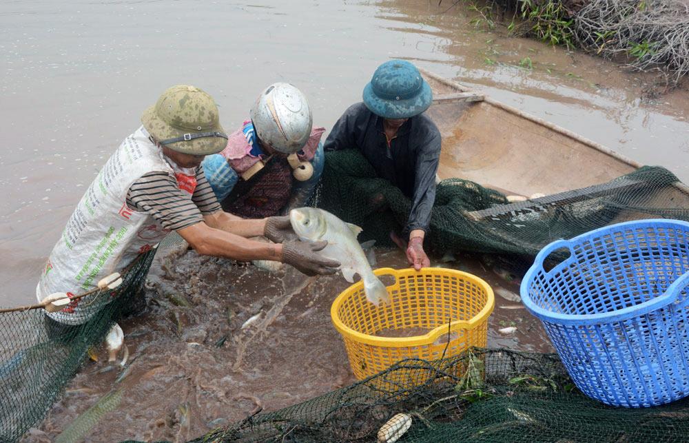 nuôi cá Phú Thọ, nuôi cá sông trong ao