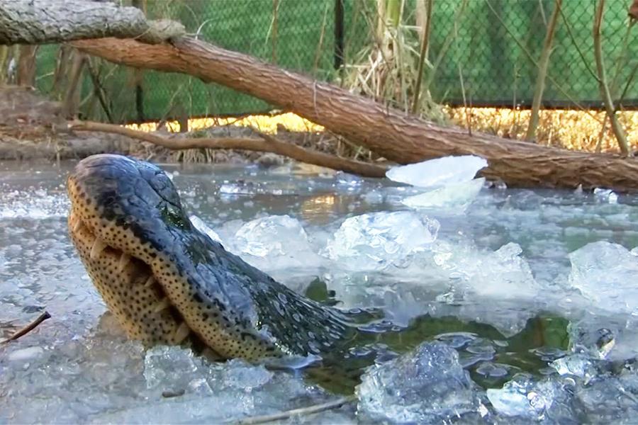 Cá sấu ngủ đông, cá sấu, sinh học cá, chuyện lạ, sinh học