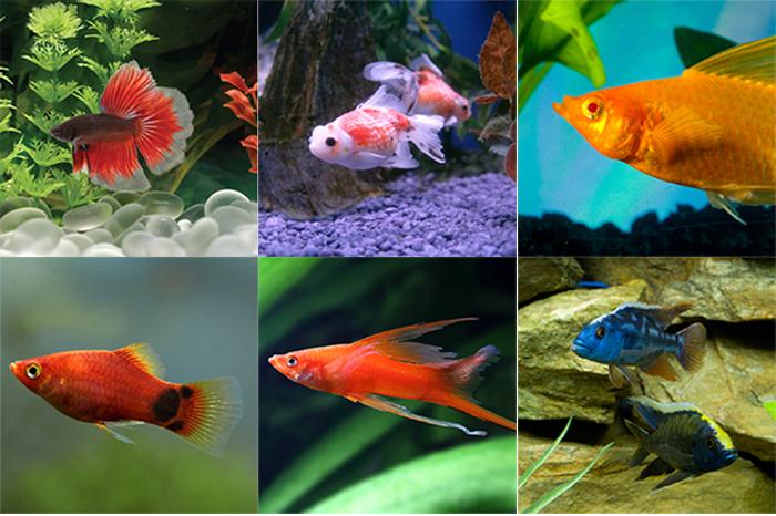 Cá cảnh, nuôi cá cảnh, hướng dẫn nuôi cá, hướng dẫn nuôi cá cảnh