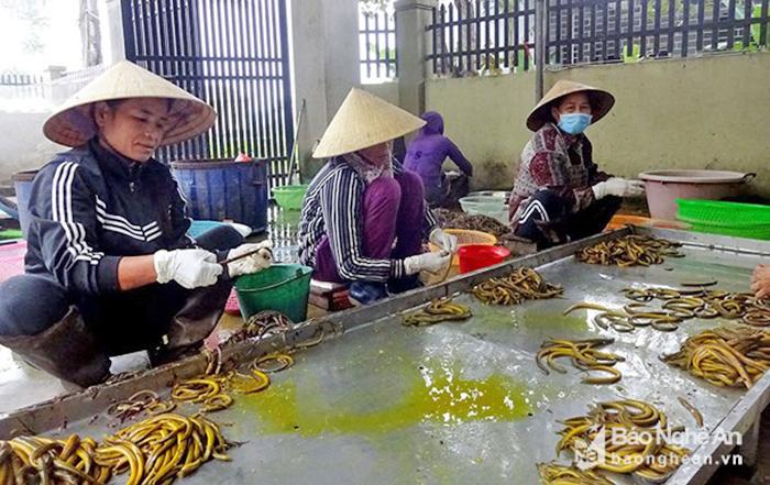 lươn, lươn đồng, chế biến lươn, lươn Nghệ An