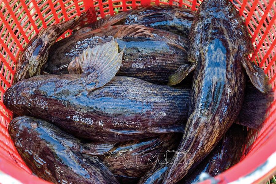 nuôi cá, giá cá, giá cá bống, cá bống tượng, nuôi cá bống tượng
