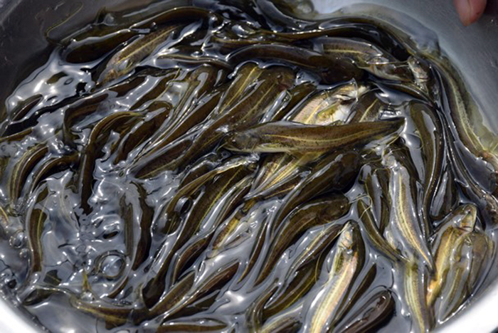 cá leo, giống cá, giống cá đặc sản, cá đặc sản, cá giống, nuôi cá, nuôi cá Nghệ An