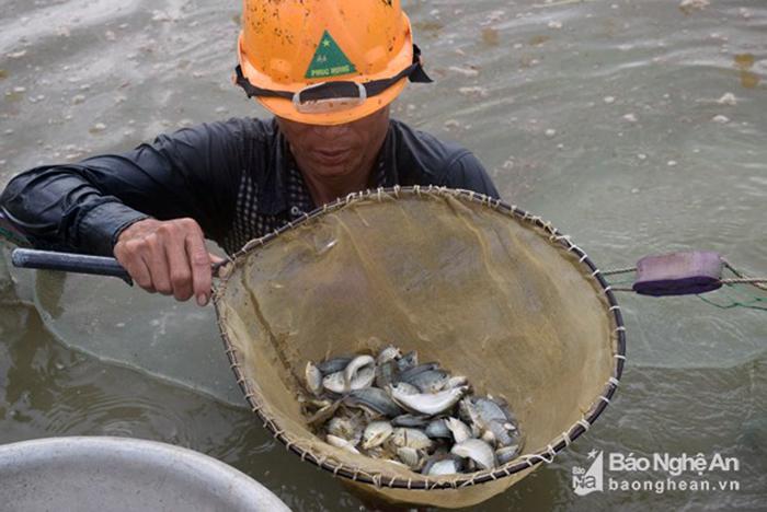 cá rô phi, giống cá, giống cá đặc sản, cá đặc sản, cá giống, nuôi cá, nuôi cá Nghệ An