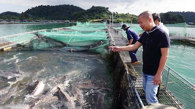 cá tầm Việt Nam, trứng cá tầm, cá tầm, trứng cá tầm đen, nuôi cá, nuôi cá tầm