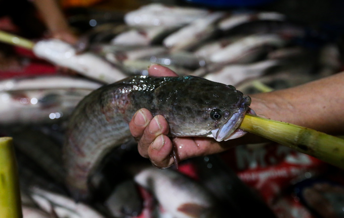 cá lóc, nướng cá lóc, cá lóc vía thần tài, giá cá lóc, chế biến cá lóc, thủy sản