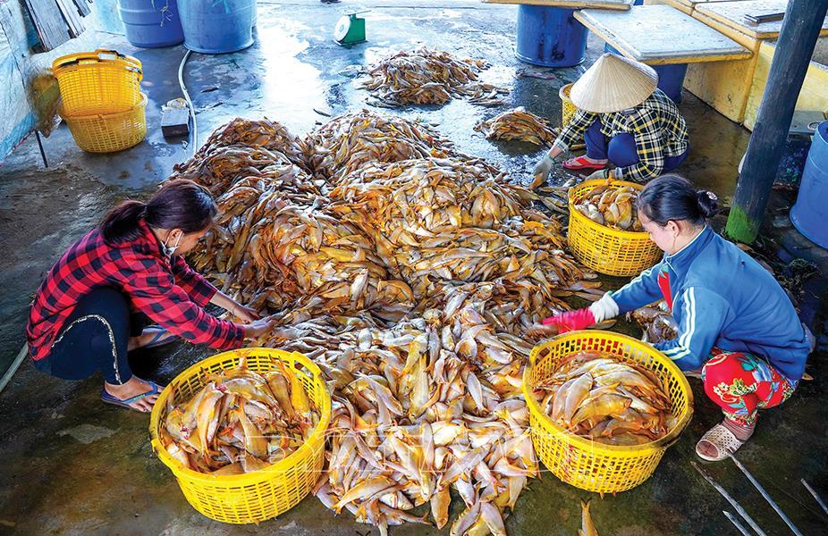 cá lép, nuôi cá, đánh bắt, đánh bắt thủy sản, chế biến cá, cá khô