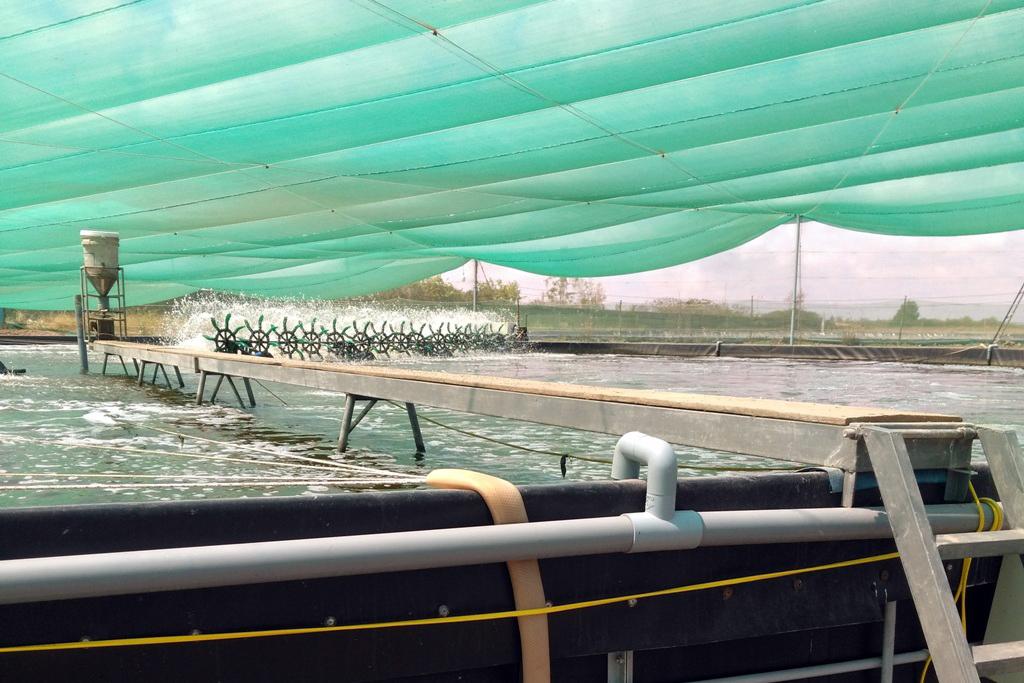 nuôi tôm, kỹ thuật nuôi tôm, nuôi tôm 2 giai đoạn, mô hình nuôi tôm, nuôi tôm quảng canh
